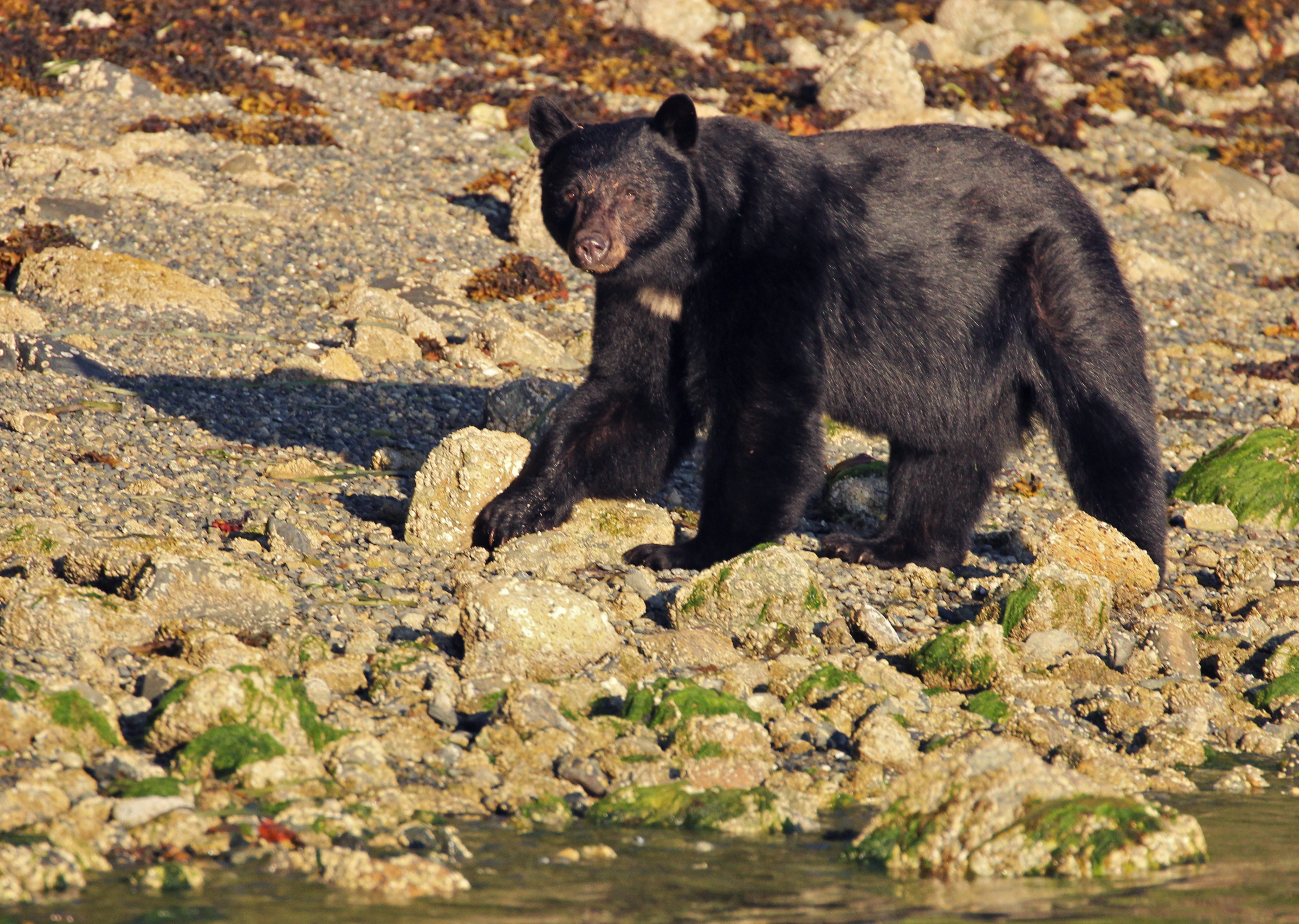 Vancouver_Island_Bear.png